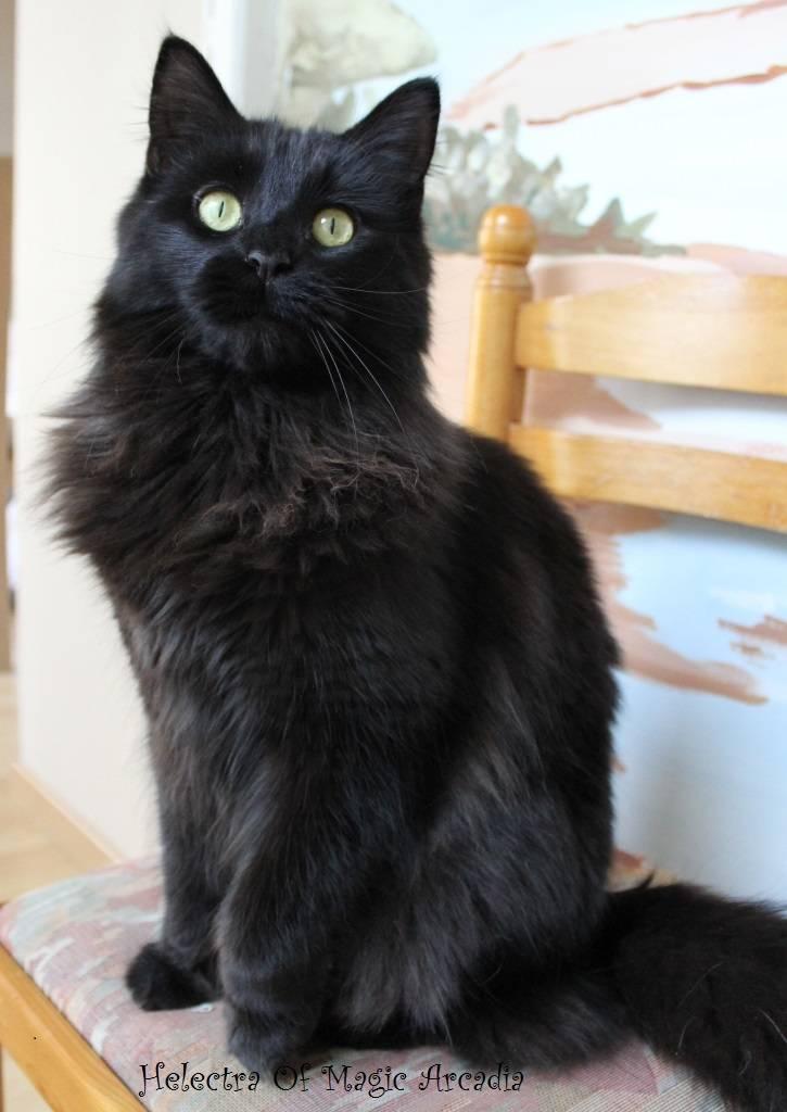 Noir chatte HD