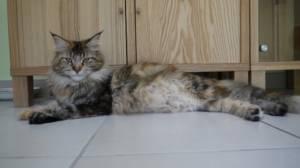 chatte en gestation