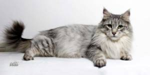 Coonity Bastet - Maine Coon femelle